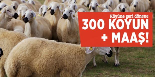Çiftçi ailelere 300 damızlık koyun