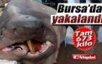 BURSA'DA BALIKÇILARIN AĞINA 673 KİLOLUK 'JAWS' TAKILDI