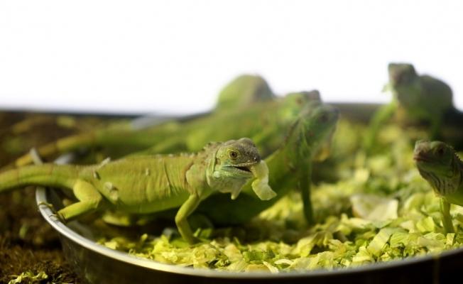 Bursa'da iguanaların beslenme saati