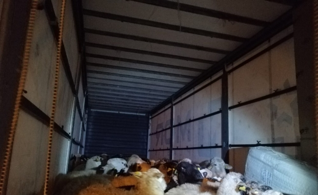 İzmir'de çalınan 80 küçükbaş hayvan Bursa'da bulundu