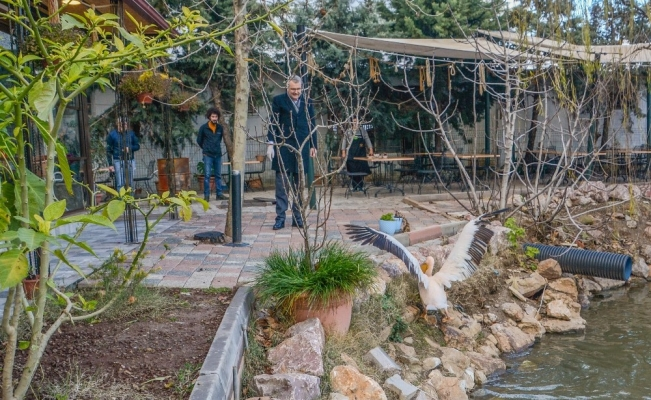 Yaralı ak pelikana Karacabey kucak açtı