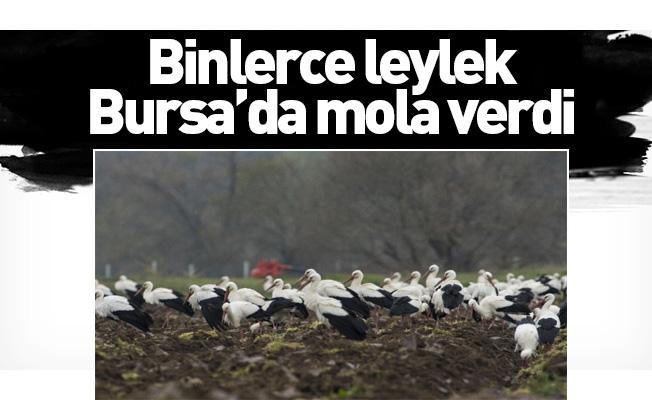 Binlerce leylek Bursa'da mola verdi