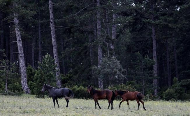 Dağda yaşayan yabanî atlar böyle görüntülendi