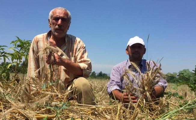 Biçerdöver gelmeyince buğdayları tarlada kaldı