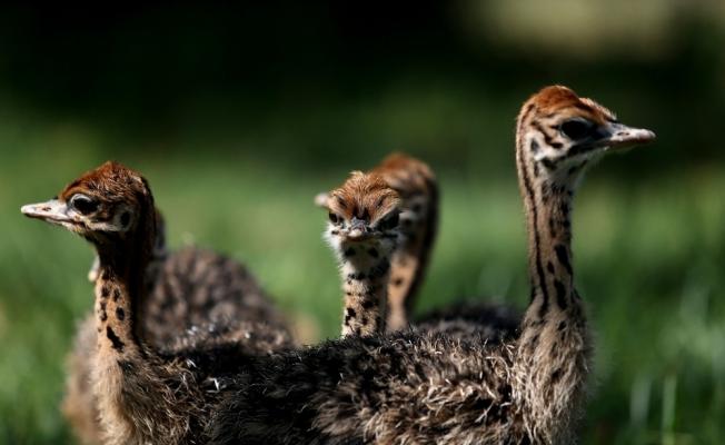 Bursa Hayvanat Bahçesi'nde devekuşu yavrusu sevinci yaşanıyor