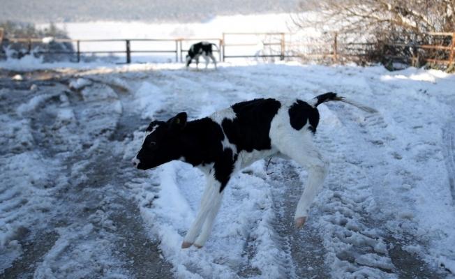 (Özel) Dünyaya gözlerini yeni açan buzağılar karla tanıştı