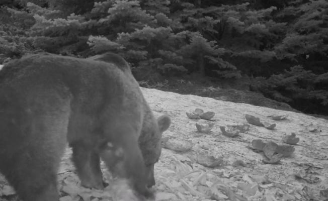 (Özel) Uludağ'da kış aylarında ayıların karpuz keyfi