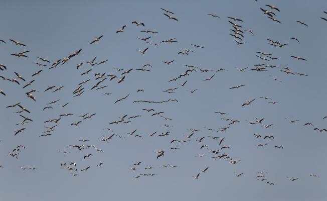 (Özel) Ak pelikanların gökyüzündeki dansı havadan görüntülendi