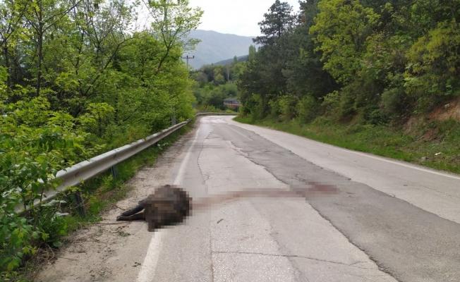 (Özel) Uludağ yolunda devasa domuz şok etti