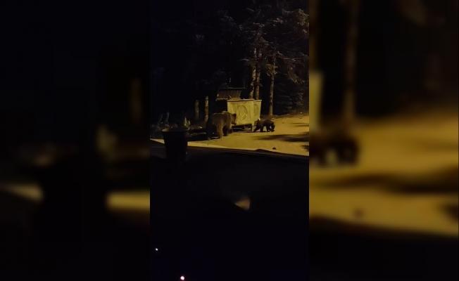 Anne ayı ve 2 yavrusu kamerada