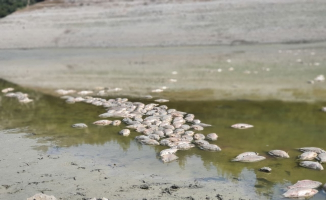 Göletteki sular çekildi, yüzlerce balık telef oldu
