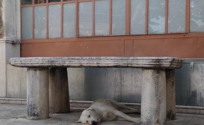 Sıcaktan bunalan köpek musalla taşının altına yattı