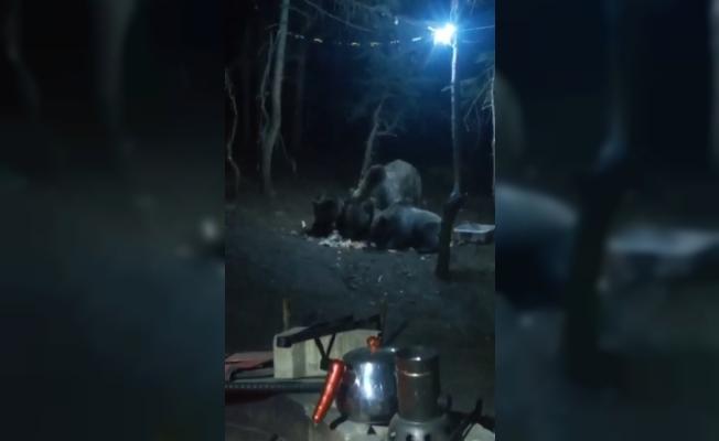 Uludağ'da aç kalan ayılar kamp alanına indi