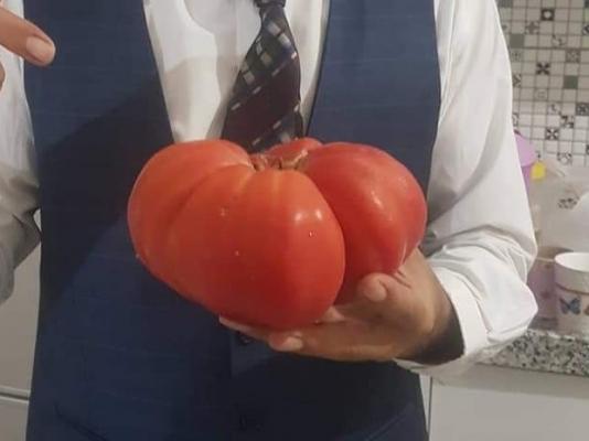 İnegöl'de yetiştirilen 1 kilo 100 gramlık domates büyüklüğüyle şaşırttı