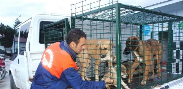 Aç Kalan Ayılar Sokak Köpeklerine Saldırdı