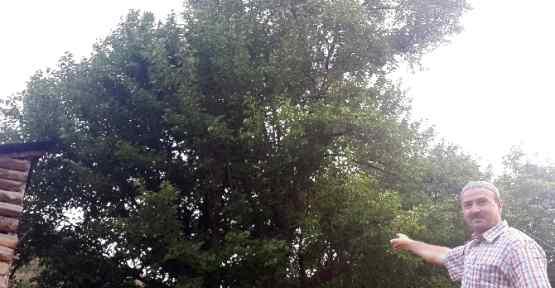 Bu Ağaç Tam 330 Yaşında !