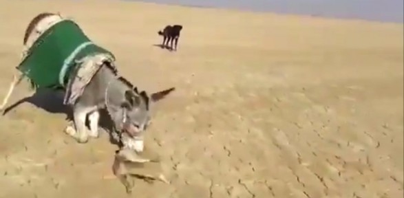 Eşek tilkiye acımadı