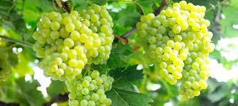 Manisa üzümleri Avrupa'ya Ihraç Ediliyor