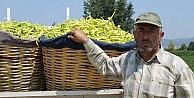 Yenişehirde biber hasadı başladı