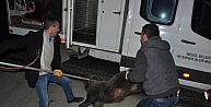 Yola inen yavru ayılara kamyon çarptı, ikisi kurtuldu, birisi telef oldu