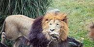 Zoopark'taki aslanların nefes kesen kış idmanı...(ÖZEL HABER)