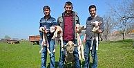Bursada bir koyun dördüz doğurdu