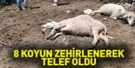 8 koyun  zehirlenerek telef oldu
