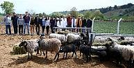 Kuzu makinesi Romanov koyunlarına üniversitelerden büyük ilgi
