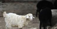 (ÖZEL HABER) Türk köyündeki nadir koyun ve keçiler bahara hazırlandı