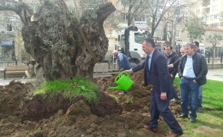 Tarihi zeytin ağaçları Gemlik merkezinde