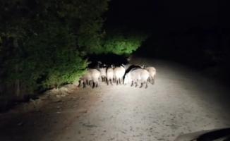 Aracıyla ilerlerken biranda onlarca domuz karşısına çıktı