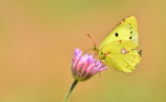 Doğu Azameti kelebeği Türkiye'de ilk kez fotoğraflandı