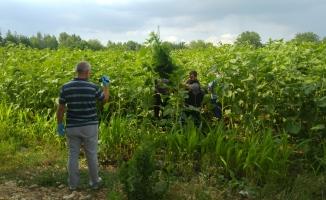 İnegöl'de ayçiçeği tarlasında 2 bin 228 kök kenevir yakalandı