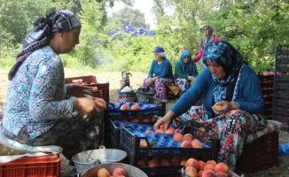 (Özel)  Bursa'da şeftali hasadı ve fiyatları yüzleri güldürdü