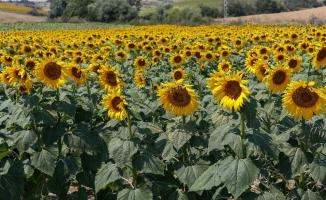 MAY Tohum ihracatını yüzde 15 arttırdı