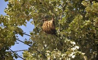 Ağaca Petek Yapan Arılar Mahalleliyi Çileden Çıkardı