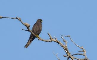 (Özel Haber) Karacabey Longozu'nda 270.tür böyle kaydedildi
