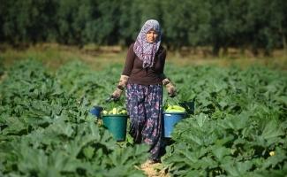 (Özel Haber) İznik'in kabakları Almanya'ya ihraç ediliyor