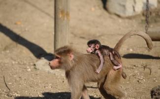 (Özel Haber) Yavru babun hayvanat bahçesinin maskotu oldu
