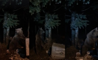 Uludağ'da aç kalan ayılar yiyecek aramaya çıktı