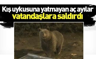 Kış uykusuna yatmayan aç ayılar vatandaşlara saldırdı