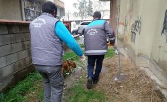 Başıboş pitbull belediye ekipleri tarafından yakalandı