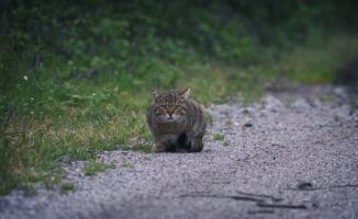Yaban kedisi Bursa'da görüntülendi