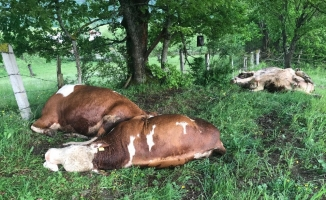 Besi çiftliğine yıldırım düştü: 4 hayvan telef oldu