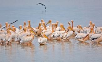 (Özel) Ak pelikanların muhteşem dansı