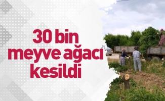 30 bin meyve ağacı kesildi