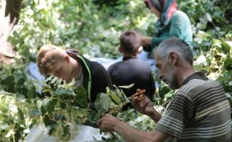 (Özel) Türkiye'nin en büyük ıhlamur ormanlarında hasat başladı