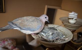 (Özel) Kuşlar oturma odasının avizesine yuva yaptı