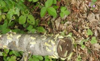 (Özel) Kayın tırtılları ile biyolojik mücadele