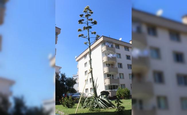 (Özel) Sitenin bahçesine ektikleri bitki 29 yıl sonra çiçek açtı
